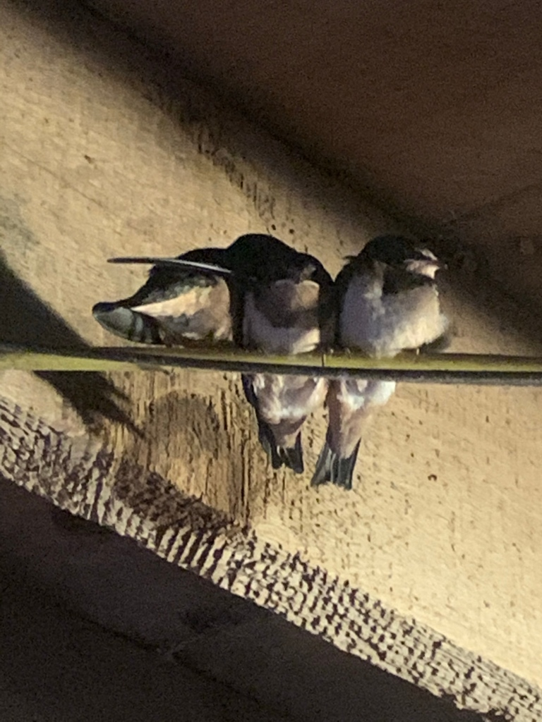 3 fledgling barn swallows sitting on a wire in the barn rafters