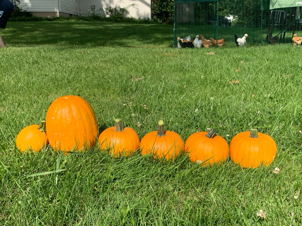 A line of pumpkins in the foreground with a coop of silkie chickens on the background towards the right. One pumpkin is bigger . It's a sunny day with sharply defined shadows.