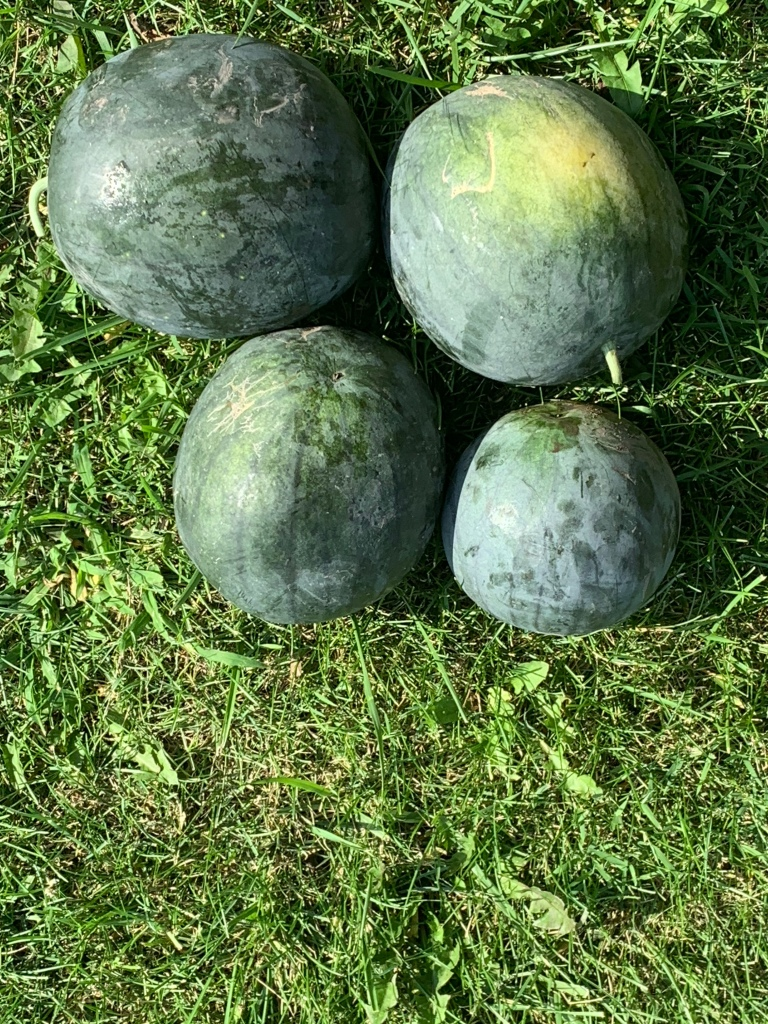 4 small ripe watermelons on a grass background. Sunny day with sharply defined shadows.